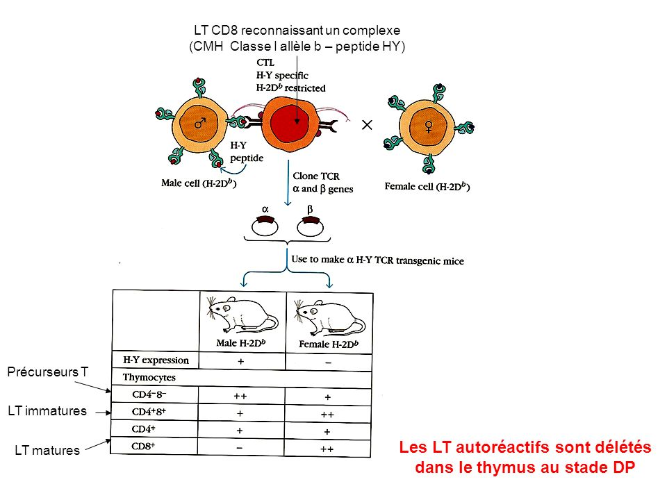 Les LT autoréactifs sont délétés dans le thymus au stade DP