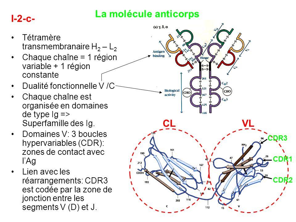 La molécule anticorps I-2-c- CL VL Tétramère transmembranaire H2 – L2