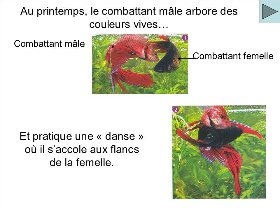 Au printemps, le combattant mâle arbore des couleurs vives…
