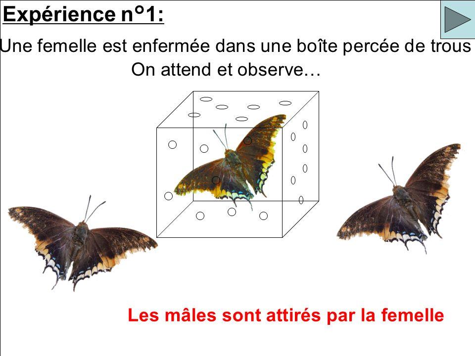 Les mâles sont attirés par la femelle