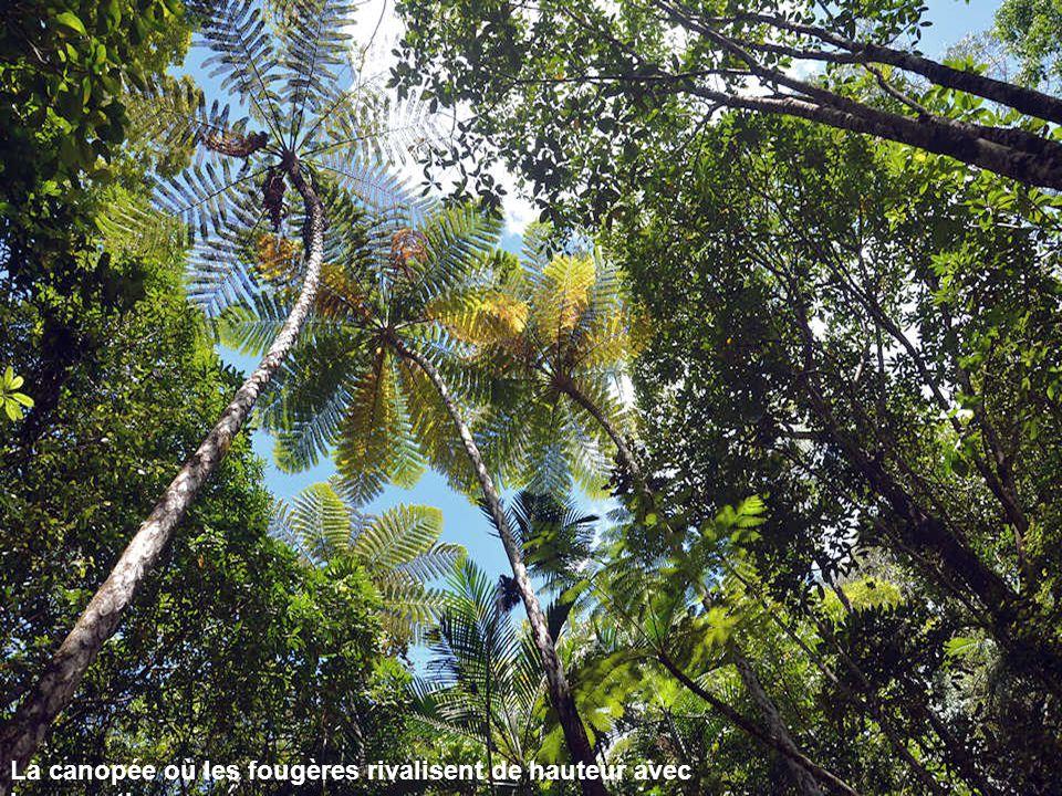 La canopée où les fougères rivalisent de hauteur avec les cocotiers