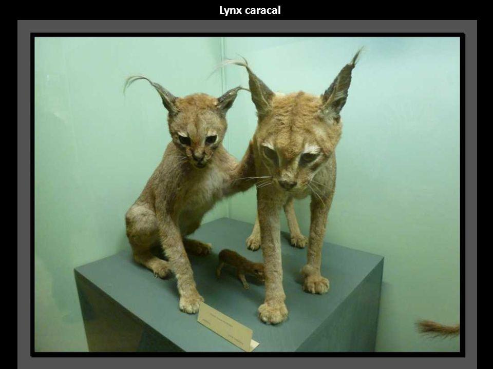 Lynx caracal