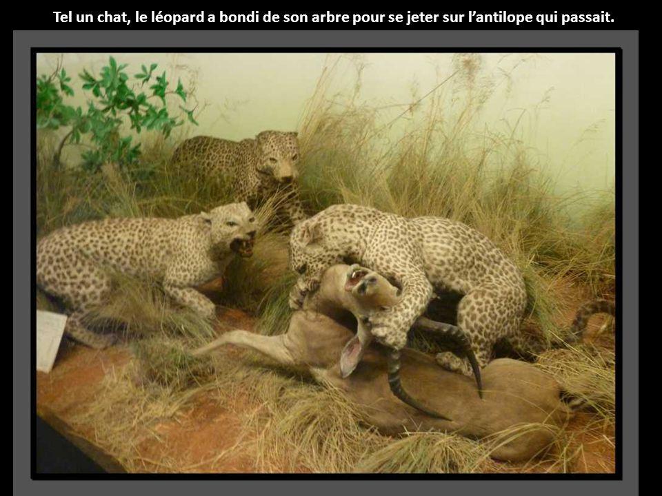 Tel un chat, le léopard a bondi de son arbre pour se jeter sur l'antilope qui passait.