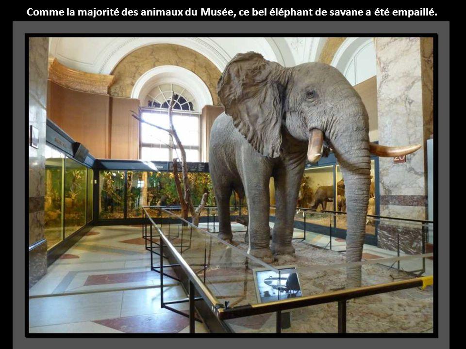 Comme la majorité des animaux du Musée, ce bel éléphant de savane a été empaillé.