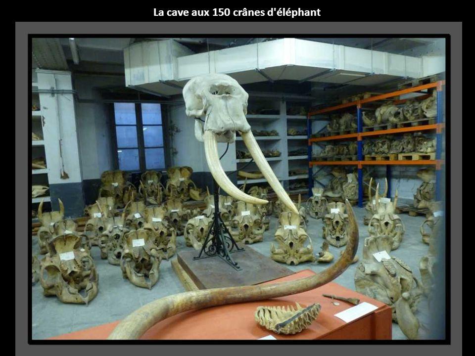 La cave aux 150 crânes d éléphant