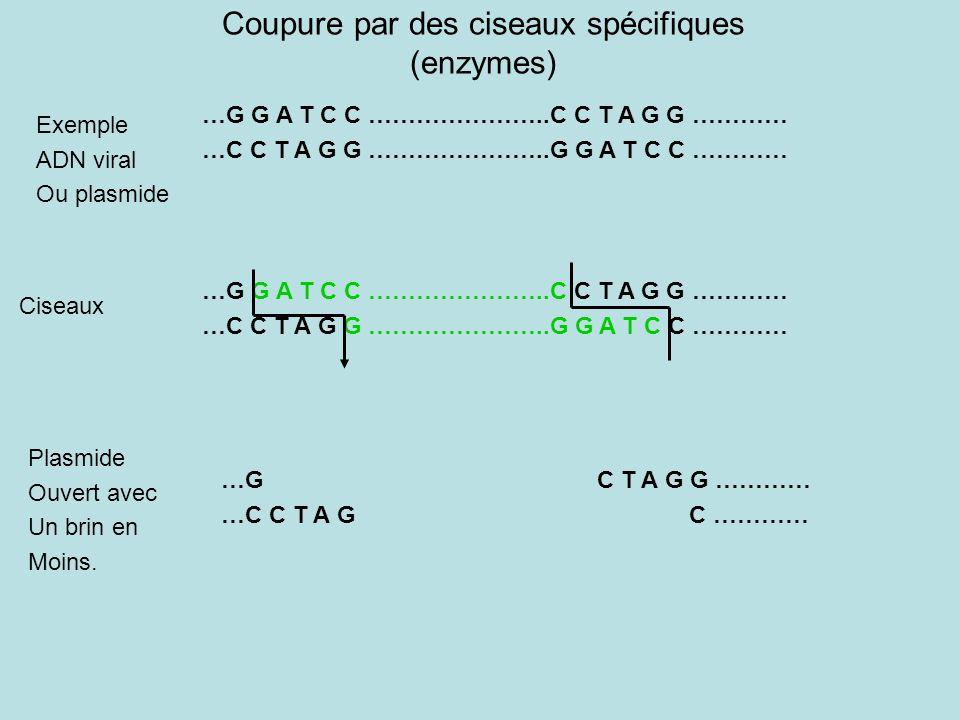 Coupure par des ciseaux spécifiques (enzymes)