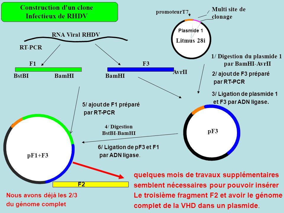 Construction d un clone 1/ Digestion du plasmide 1