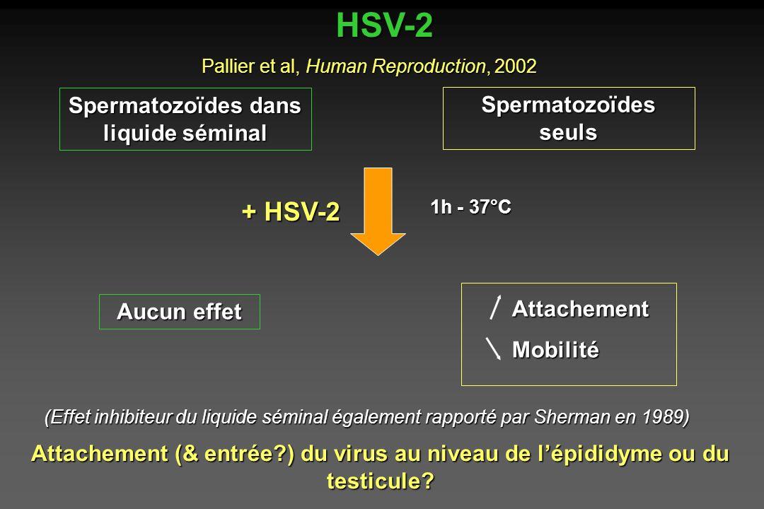 Spermatozoïdes dans liquide séminal
