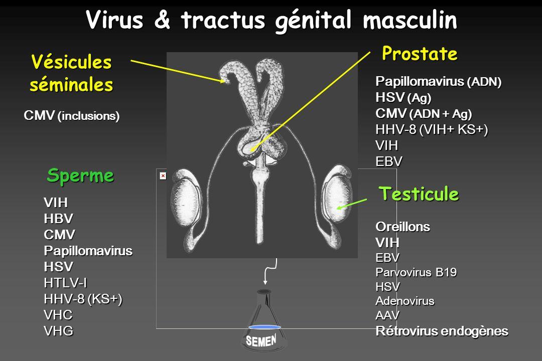 Virus & tractus génital masculin