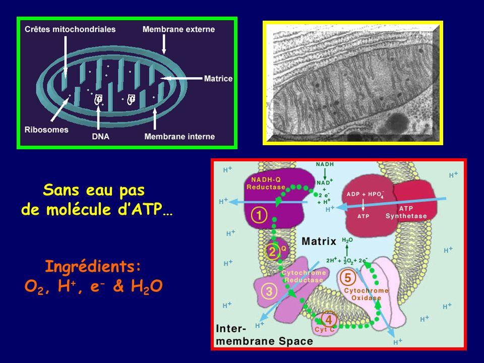 Sans eau pas de molécule d'ATP… Ingrédients: O2, H+, e- & H2O