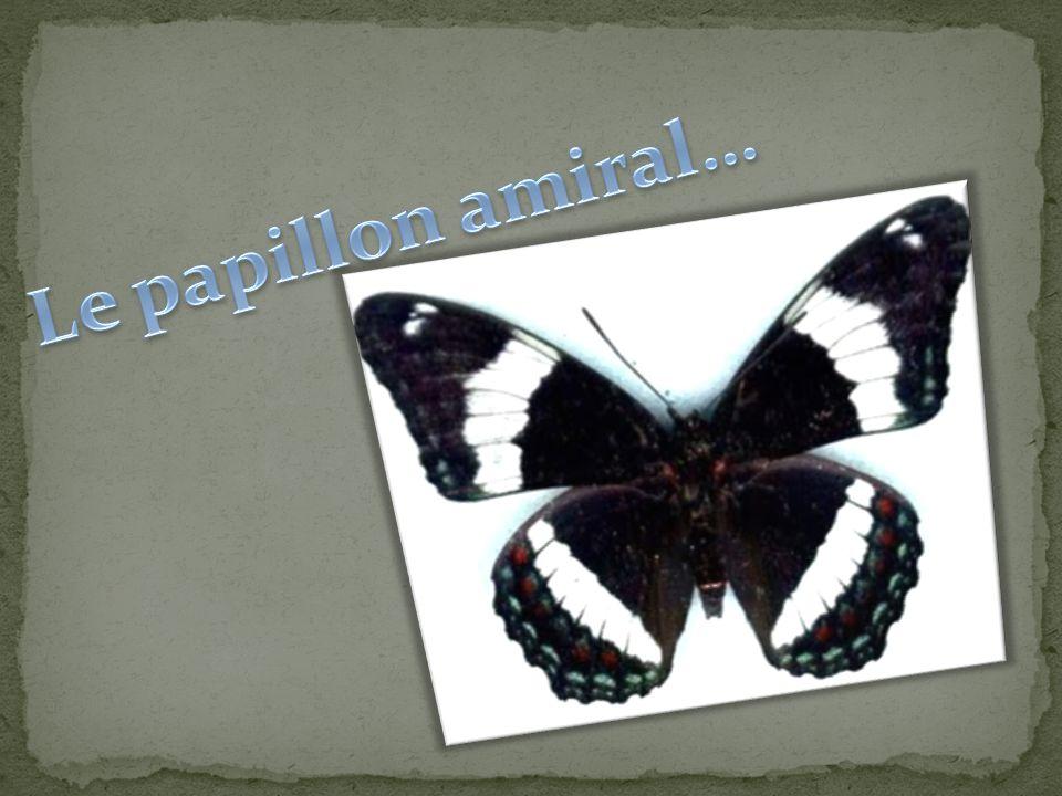 Le papillon amiral…