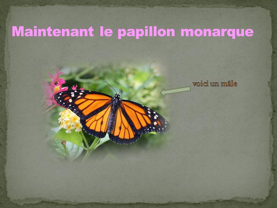 Maintenant le papillon monarque