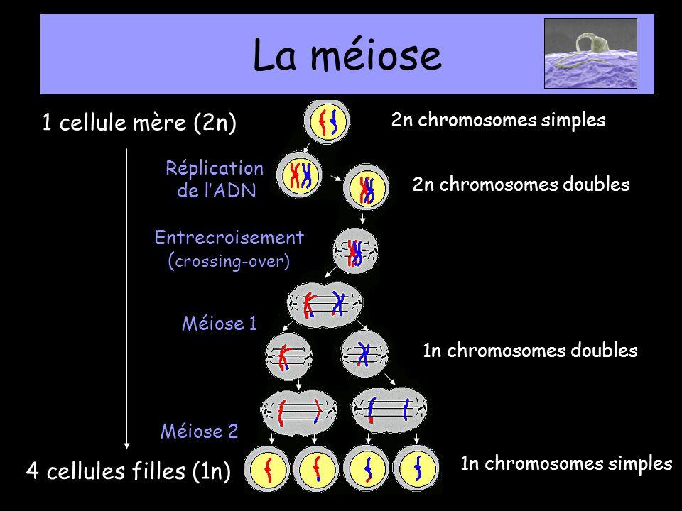 La méiose 1 cellule mère (2n) 4 cellules filles (1n)