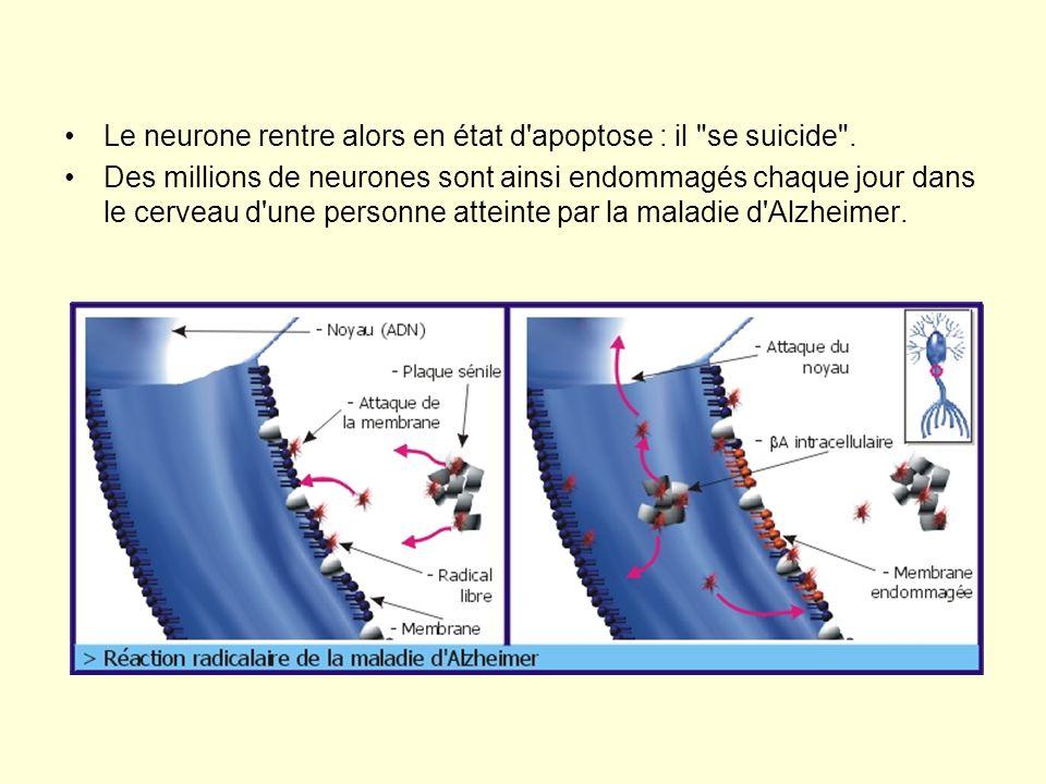 Le neurone rentre alors en état d apoptose : il se suicide .