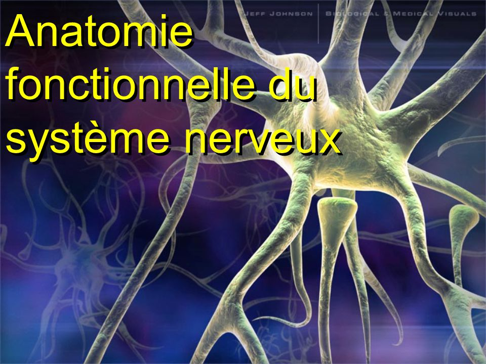 Anatomie fonctionnelle du système nerveux