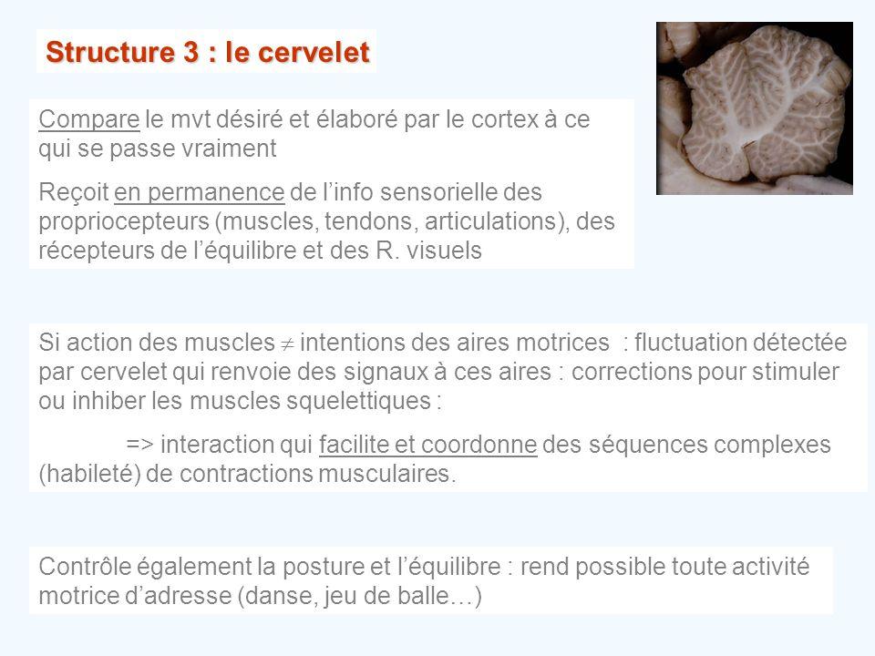 Structure 3 : le cervelet