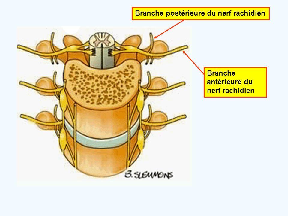 Branche postérieure du nerf rachidien