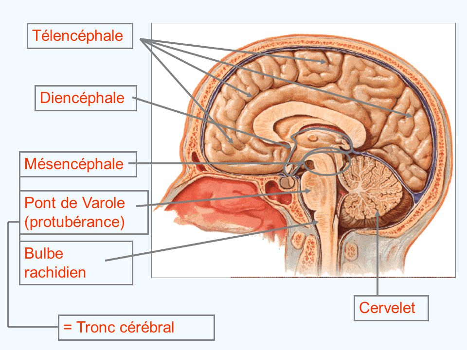 Télencéphale Diencéphale. Mésencéphale. = Tronc cérébral. Pont de Varole (protubérance) Bulbe rachidien.