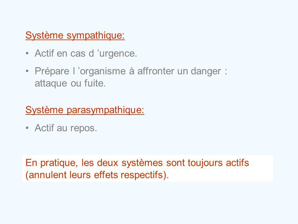 Système sympathique: Actif en cas d 'urgence. Prépare l 'organisme à affronter un danger : attaque ou fuite.