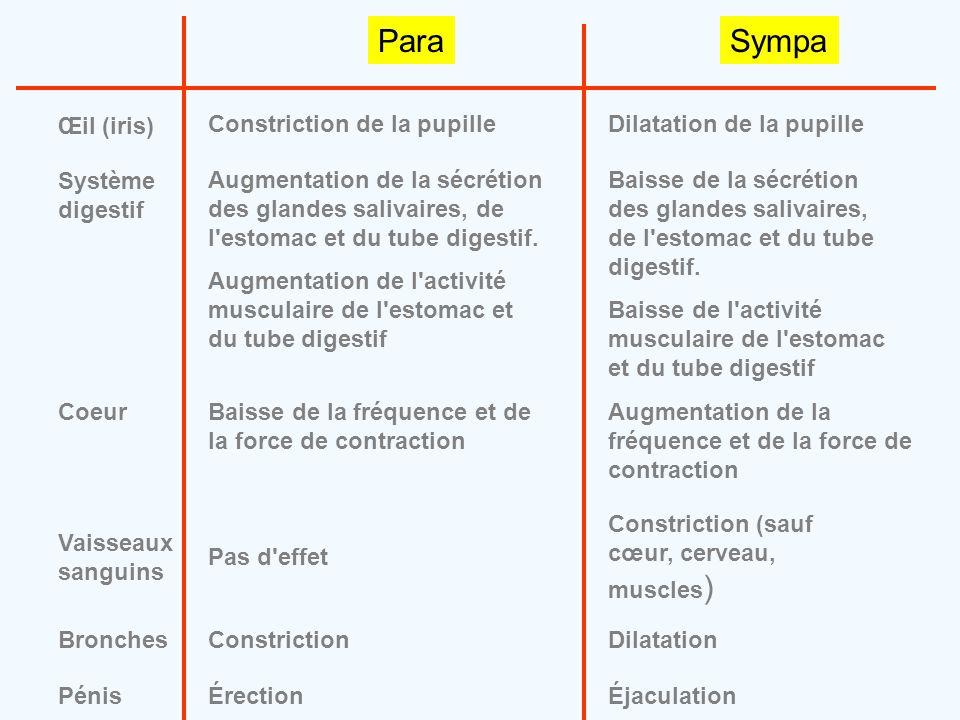 Para Sympa Œil (iris) Constriction de la pupille