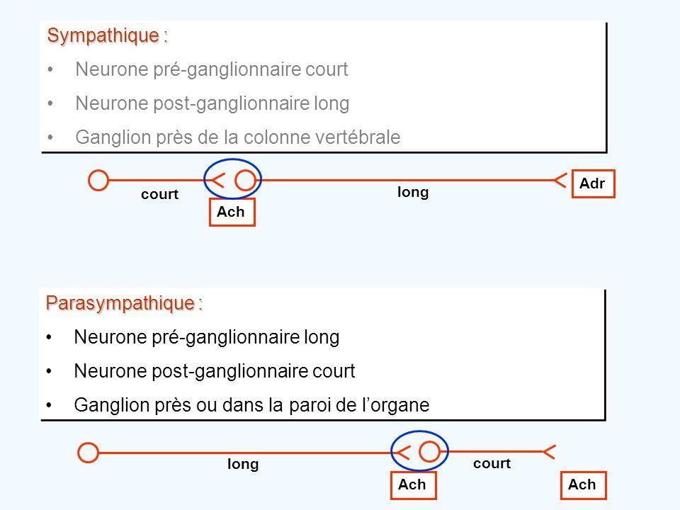 Neurone pré-ganglionnaire court Neurone post-ganglionnaire long