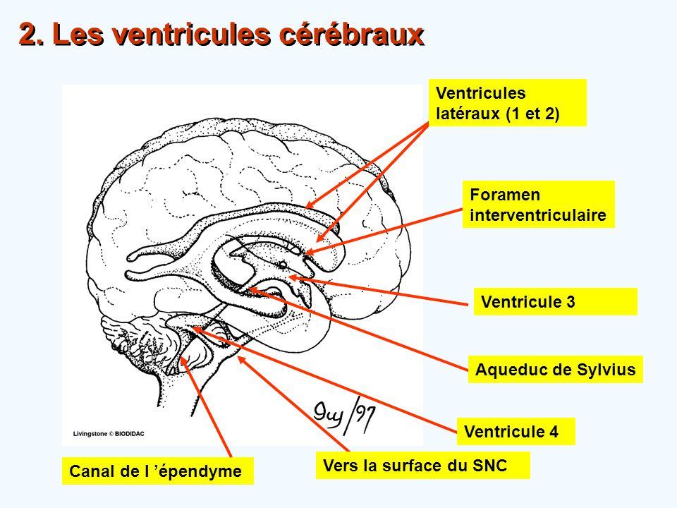 2. Les ventricules cérébraux