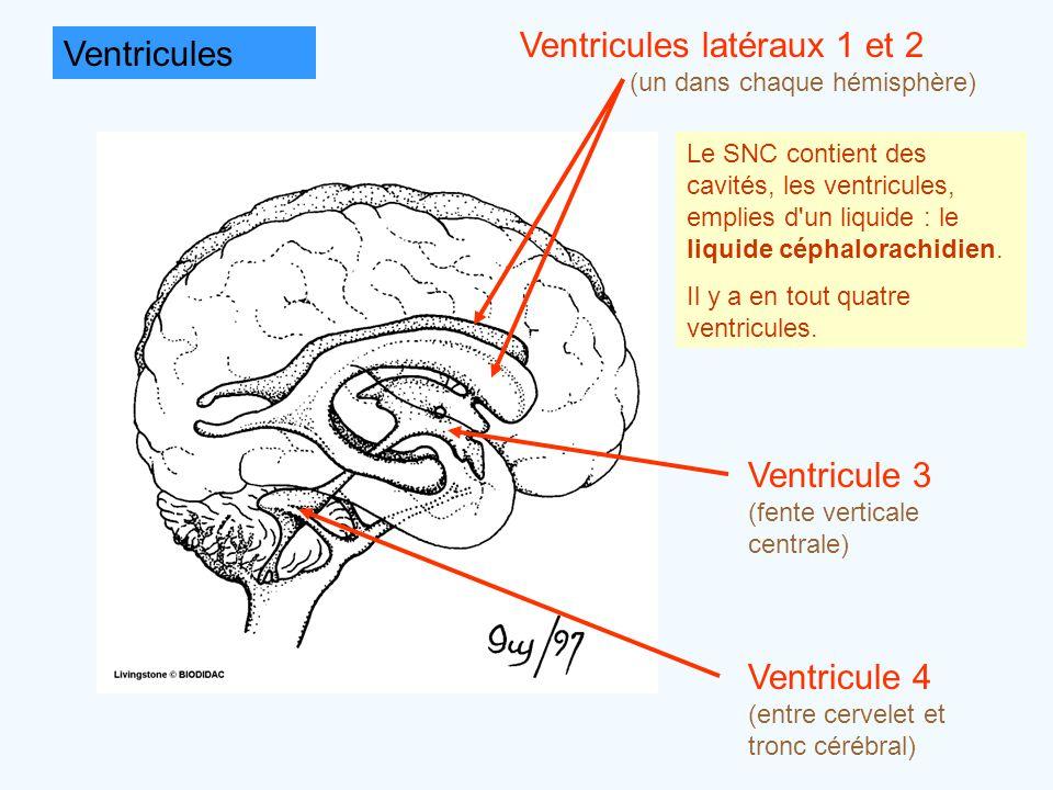 Ventricules latéraux 1 et 2 Ventricules