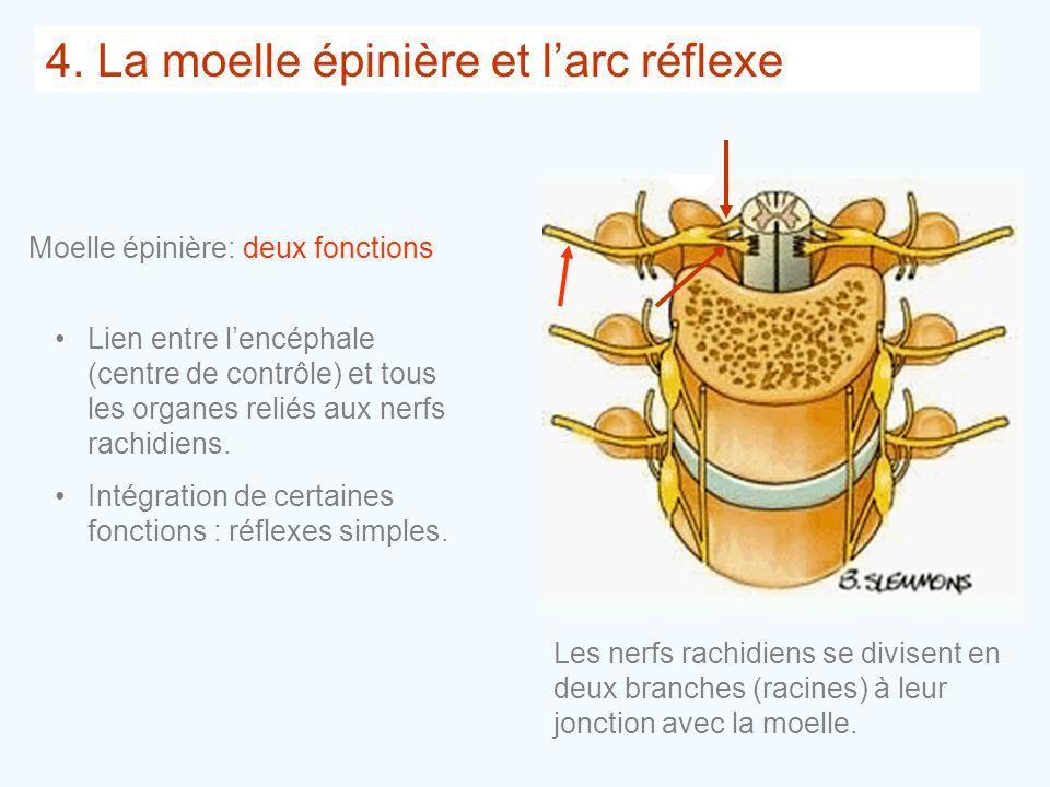 4. La moelle épinière et l'arc réflexe
