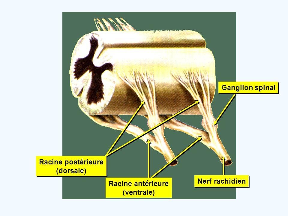 Ganglion spinal Racine postérieure (dorsale) Racine antérieure (ventrale) Nerf rachidien