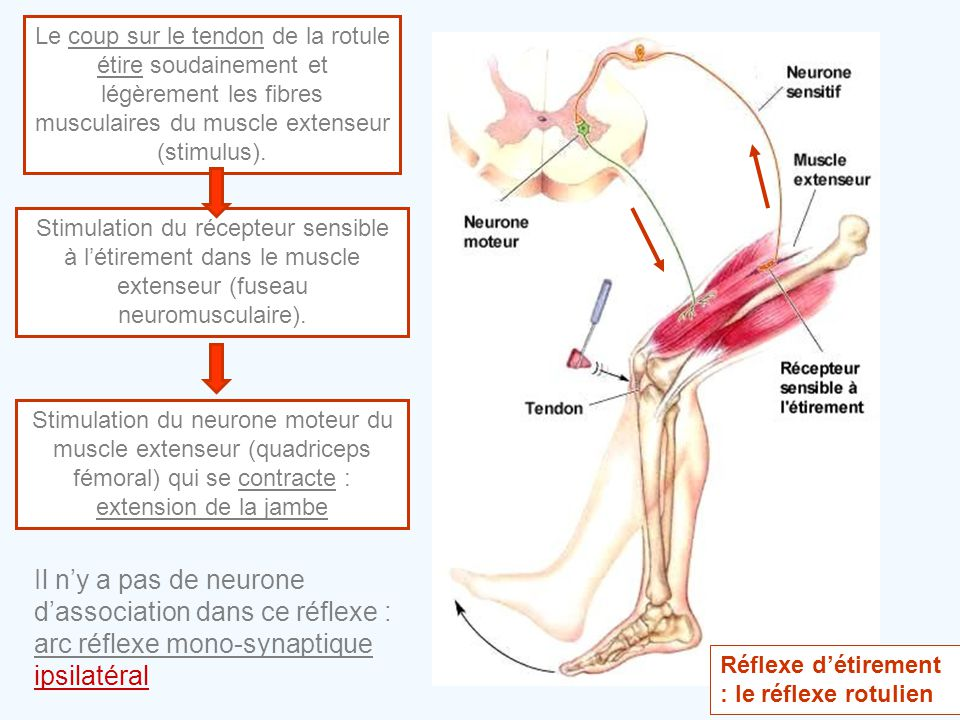 Le coup sur le tendon de la rotule étire soudainement et légèrement les fibres musculaires du muscle extenseur (stimulus).