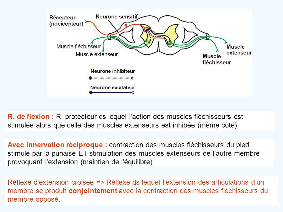 R. de flexion : R. protecteur ds lequel l'action des muscles fléchisseurs est stimulée alors que celle des muscles extenseurs est inhibée (même côté)
