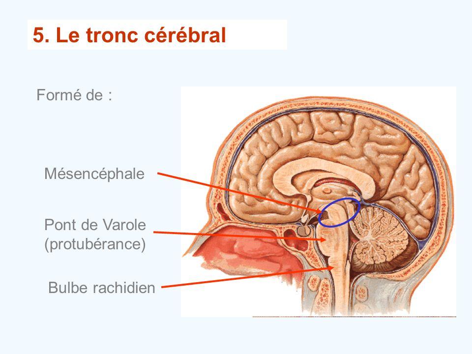 5. Le tronc cérébral Formé de : Mésencéphale