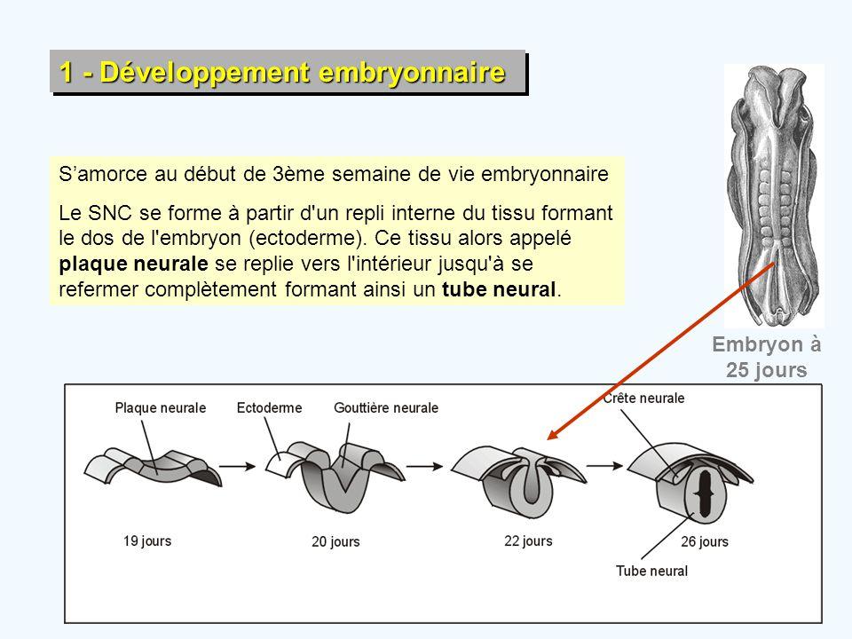 1 - Développement embryonnaire