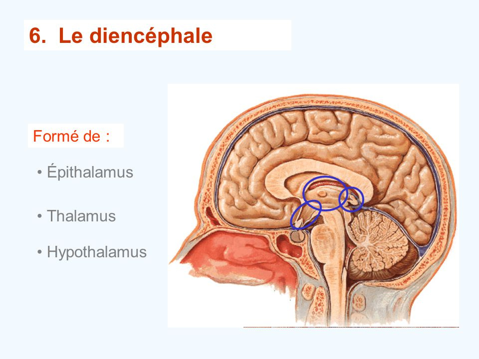 6. Le diencéphale Formé de : Épithalamus Thalamus Hypothalamus