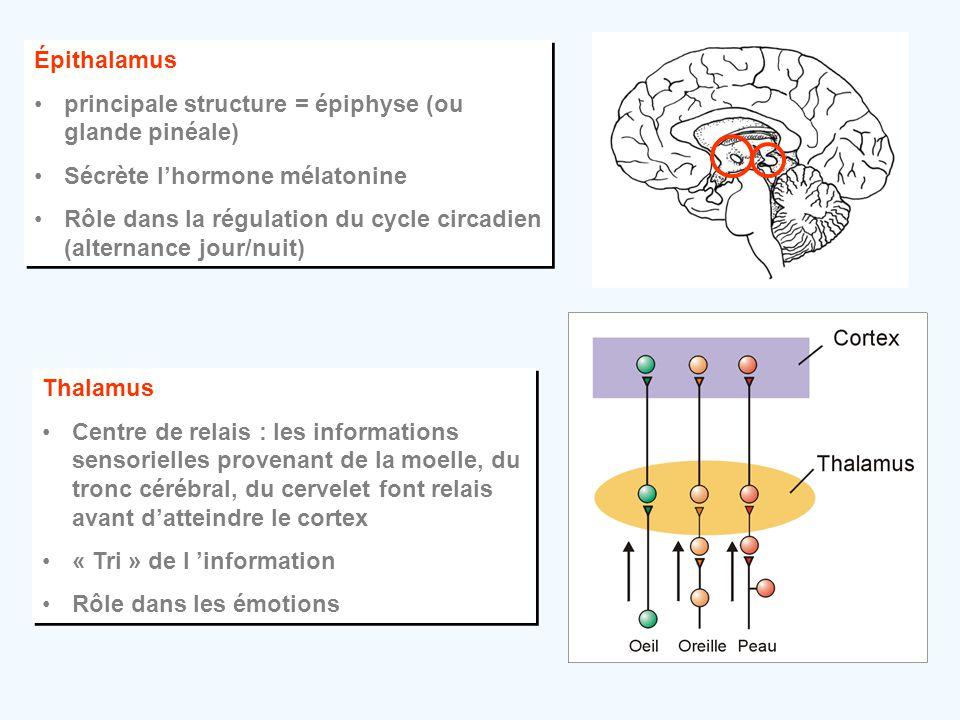 Épithalamus principale structure = épiphyse (ou glande pinéale) Sécrète l'hormone mélatonine.