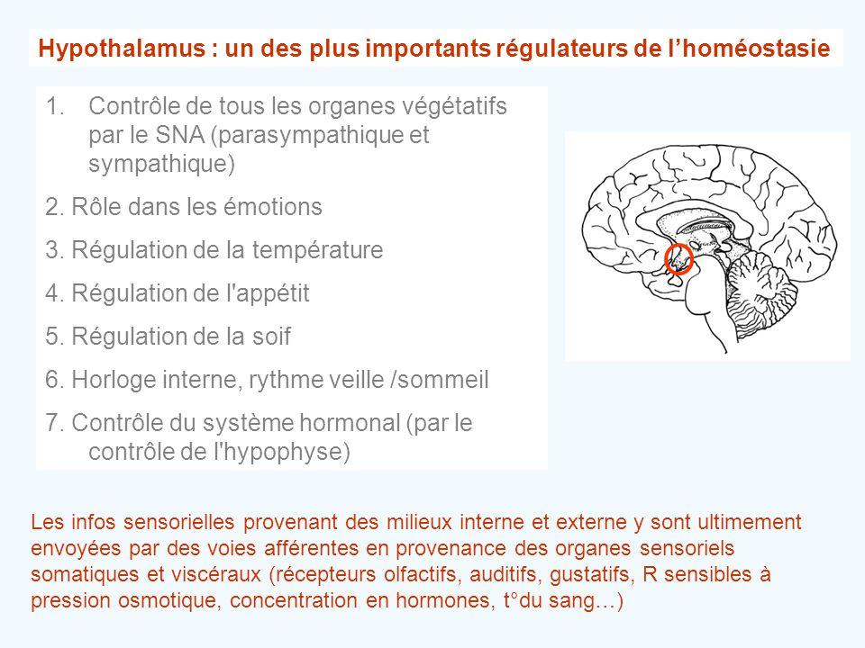 Hypothalamus : un des plus importants régulateurs de l'homéostasie