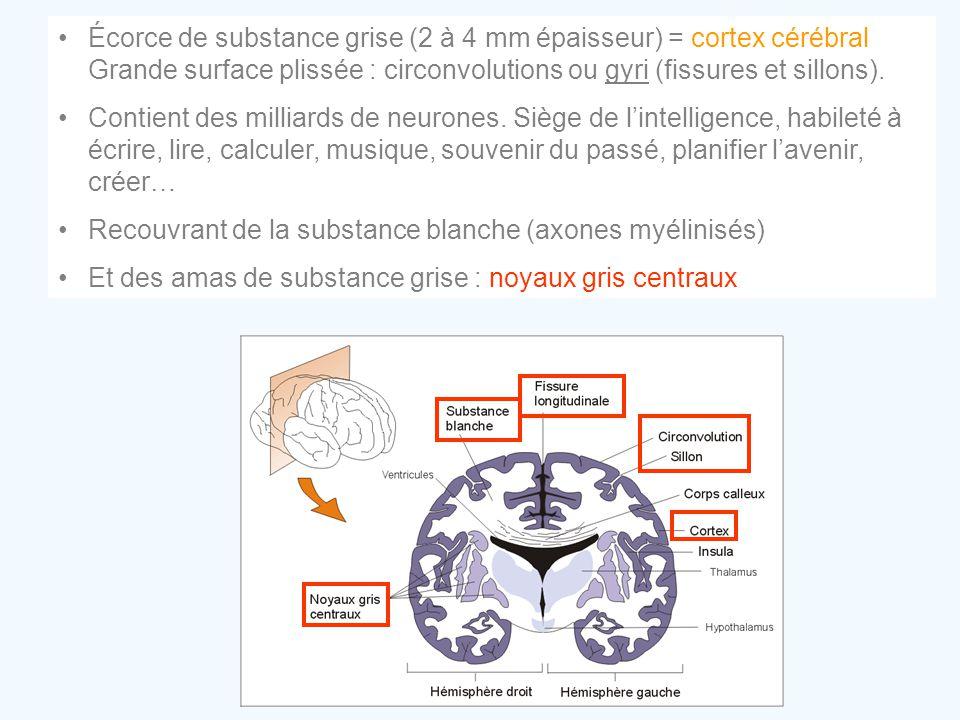 Écorce de substance grise (2 à 4 mm épaisseur) = cortex cérébral Grande surface plissée : circonvolutions ou gyri (fissures et sillons).