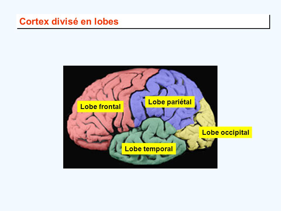 Cortex divisé en lobes Lobe pariétal Lobe frontal Lobe occipital