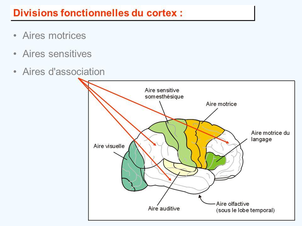Divisions fonctionnelles du cortex :