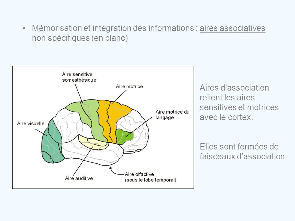 Mémorisation et intégration des informations : aires associatives non spécifiques (en blanc)