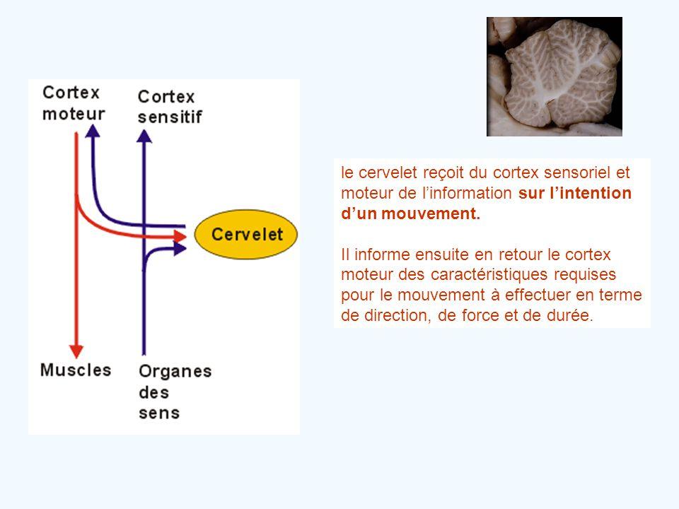 le cervelet reçoit du cortex sensoriel et moteur de l'information sur l'intention d'un mouvement.