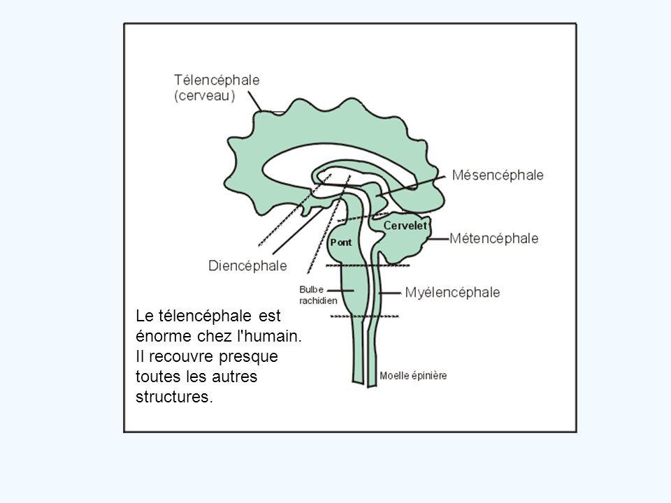 Le télencéphale est énorme chez l humain