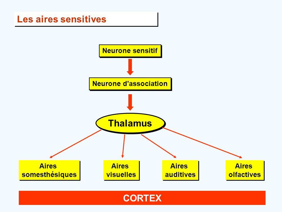 Les aires sensitives Thalamus CORTEX Neurone sensitif