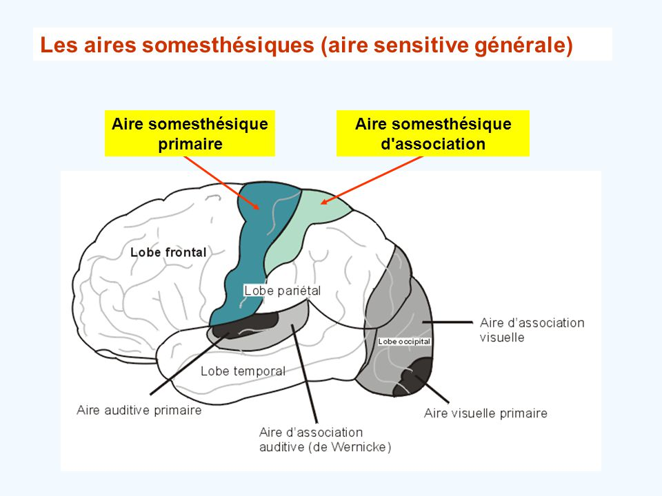 Aire somesthésique primaire Aire somesthésique d association