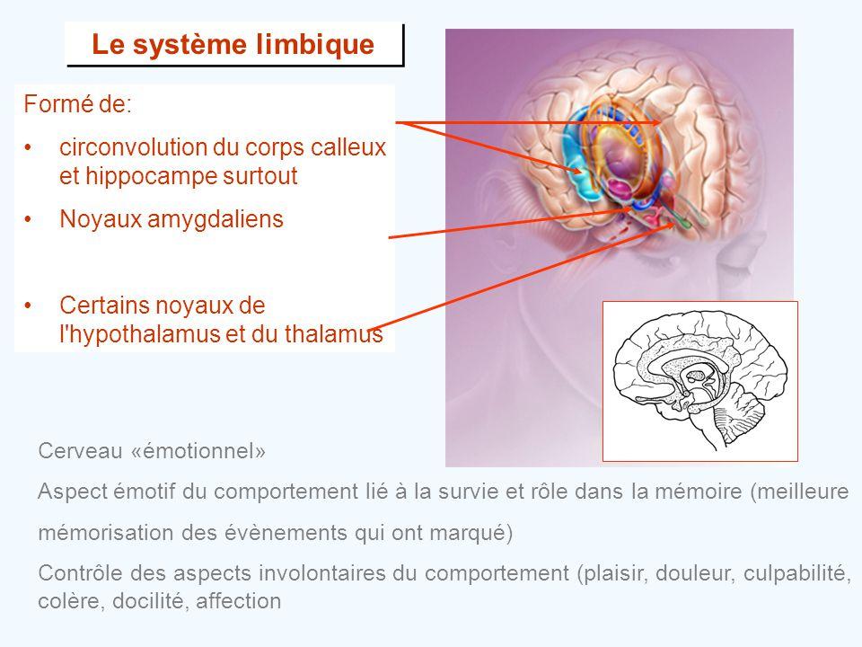 Le système limbique Formé de: