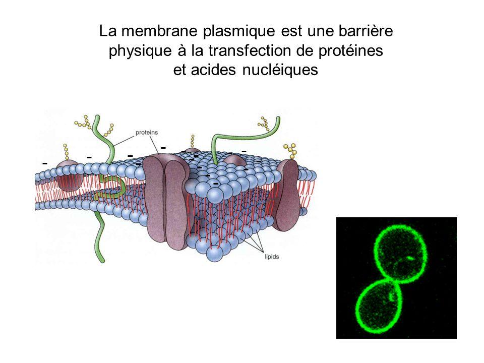 La membrane plasmique est une barrière