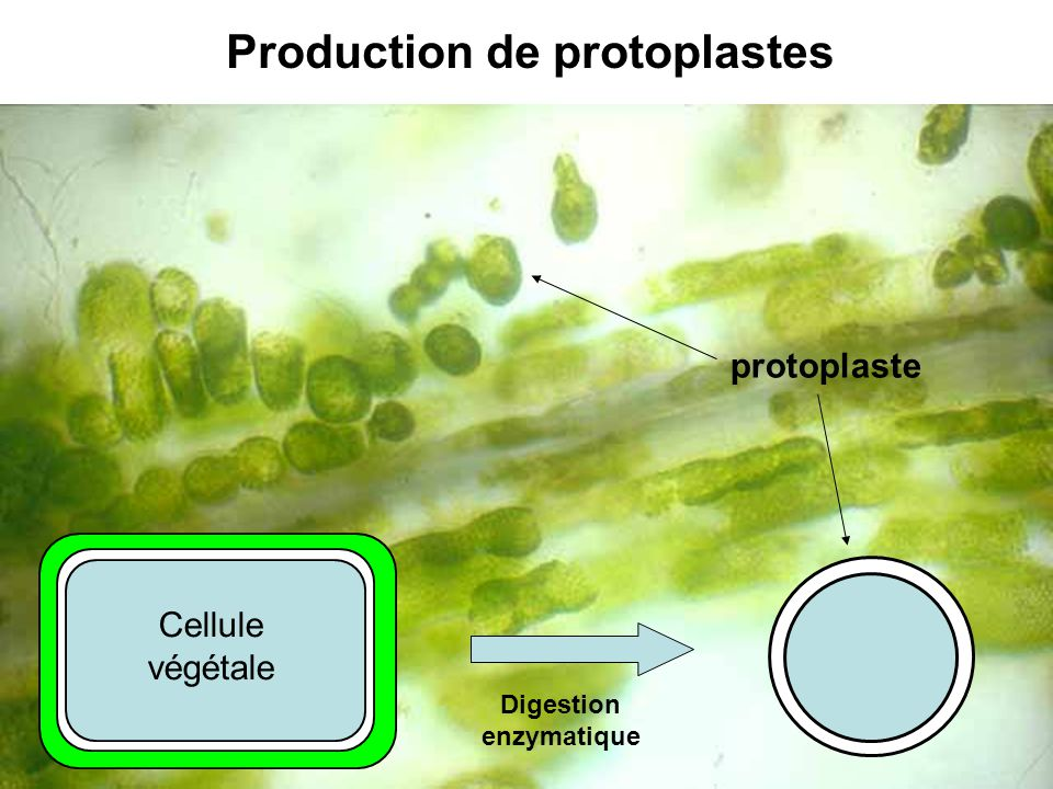 Production de protoplastes