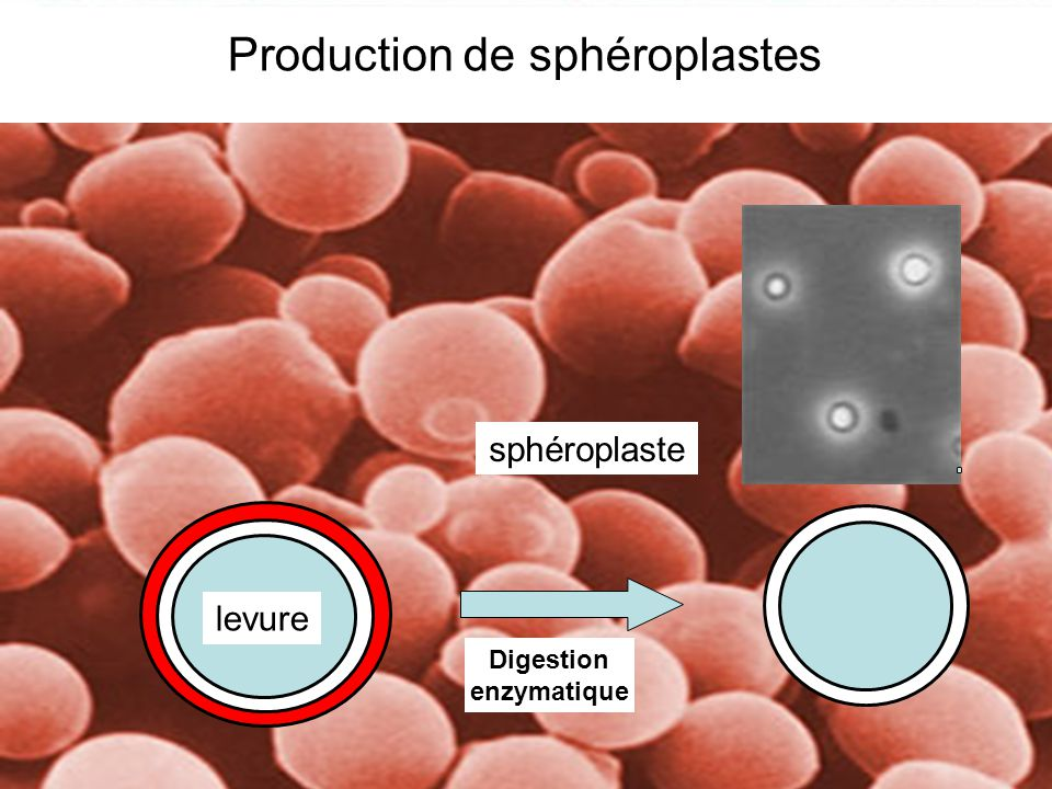 Production de sphéroplastes