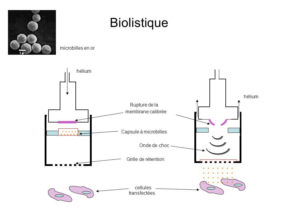 Biolistique …… . microbilles en or hélium hélium Rupture de la