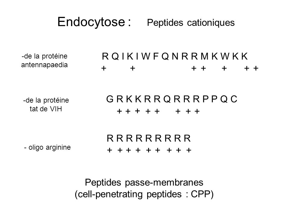 Endocytose : Peptides cationiques R Q I K I W F Q N R R M K W K K +